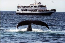 A whale near the surface, with whalewatch boat in backgroun